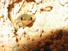 frog%20Myanmar_331.JPG