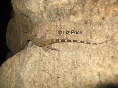 gecko%20Myanmar_141.jpg