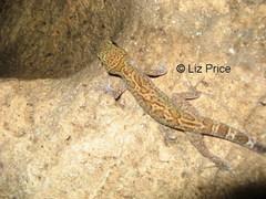 gecko%20Myanmar_142.jpg