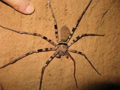 spider%20Myanmar_192.JPG